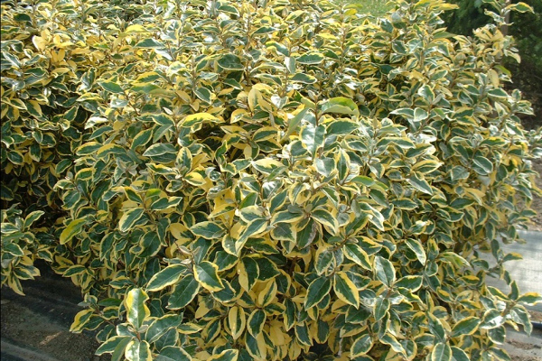 Eleagnus-Gilt-Edge