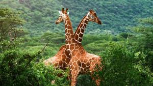 Giraffe, rischio estinzione
