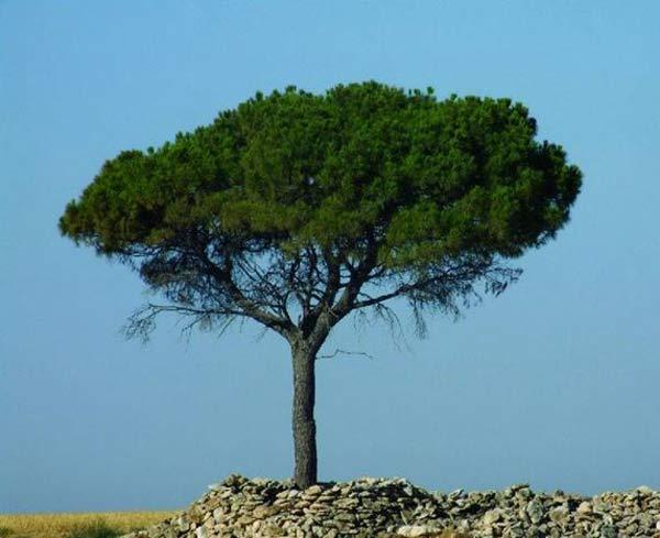 albero-di-pino