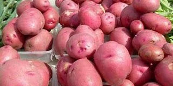 Igp per la patata rossa di Colfiorito
