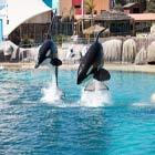 Spettacolo delle orche