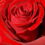 La mia nonna era una Rosa