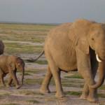 Bracconieri cacciano gli elefanti con il cianuro