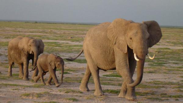elefanti
