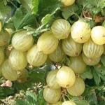 Uva spina frutto benefico