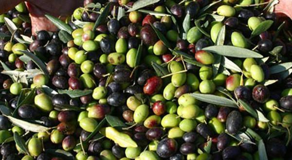 olive-olio-extra-vergine-italiano