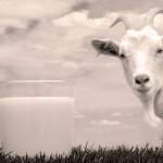 Latte di capra caratteristiche e proprietà nutrizionali