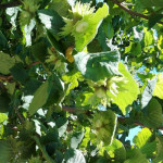 Nocciola di Calabria, sulle PreSerre il valore del territorio