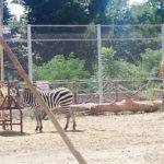 Antilopi allo Zoo di Napoli