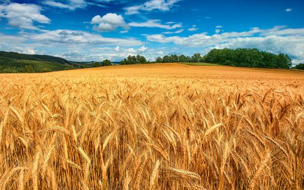 comparto-cerealicolo-grano