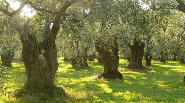 Oliveto, concimazione minerale o fertilizzazione organica