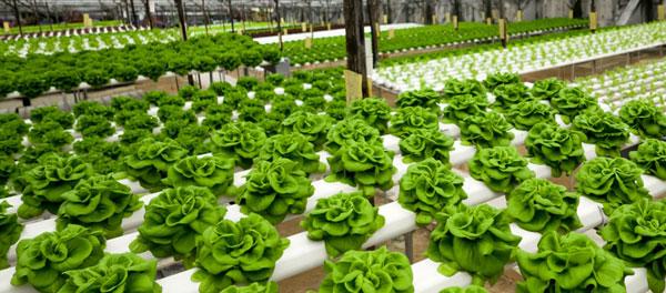 Idroponica,  tecnica di coltivazione vegetale