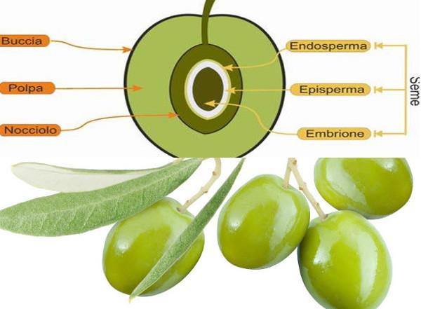 Oliva, buccia, nocciolo, polpa tessuti del frutto