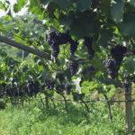 Viticoltori Naturali, senza pesticidi