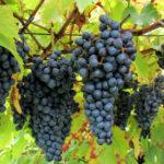 Elmo un nuovo vitigno scoperto da Valpantena