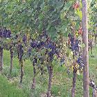 Vendemmia selezione uva