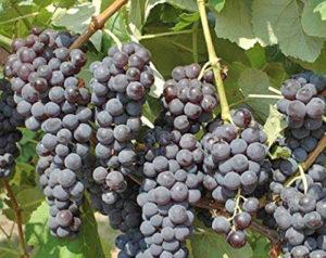 Uva fragola, l'uva vietata